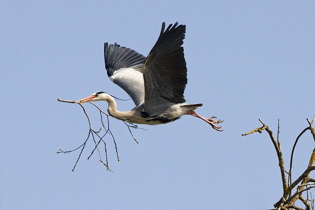 Grey Heron Branch Flying Heron  - DerWeg / Pixabay